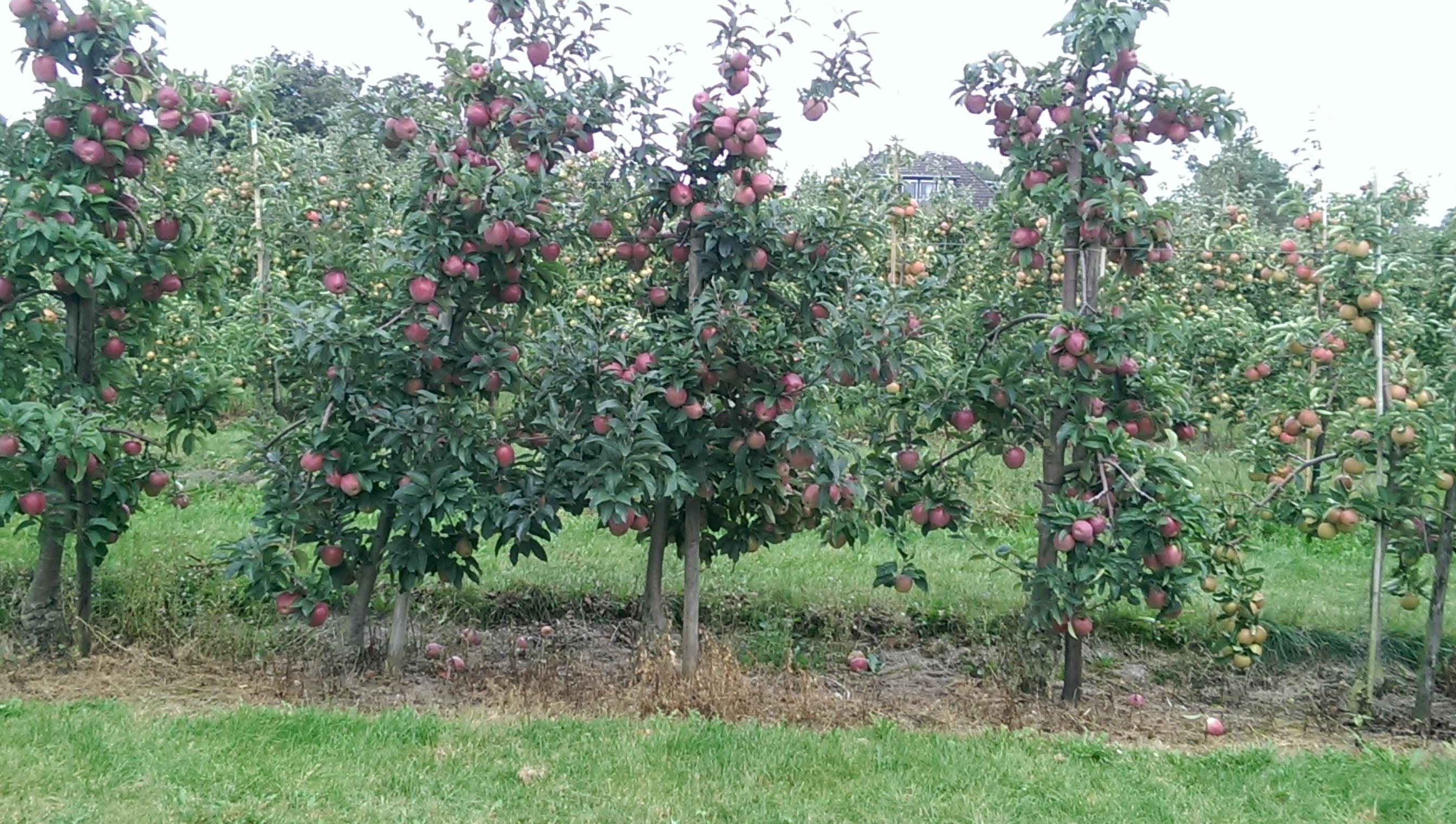 Apfelbaum Wiese