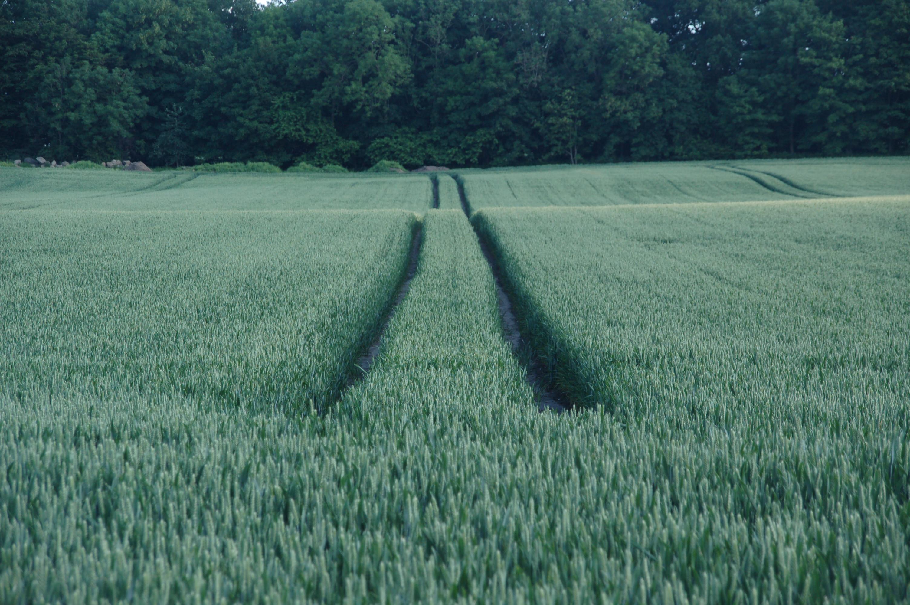 Bio ist besser als nicht bio - Feld mit Getreide