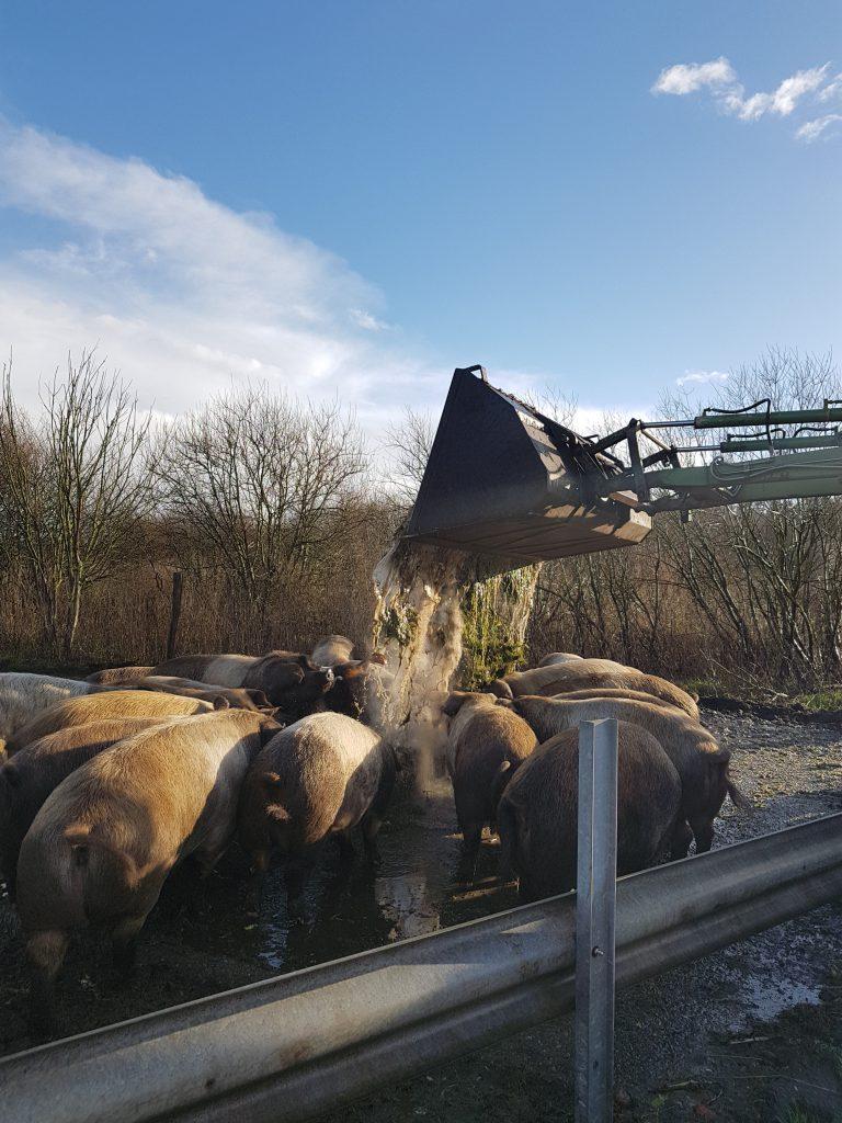 Rotbunte Husumer Landschweine auf dem Bio-Bauernhof Hockmannshof Fütterung